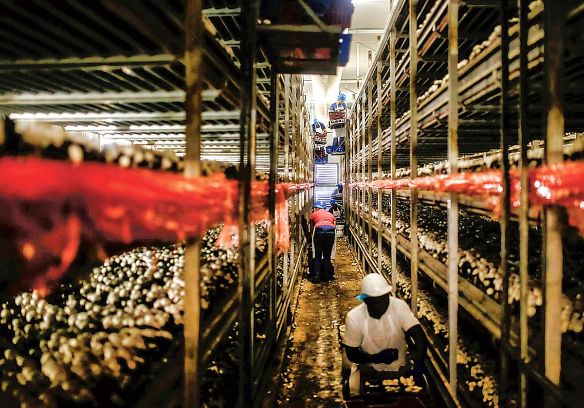 ■加拿大农业长期面对劳工短缺问题。路透社资料图片