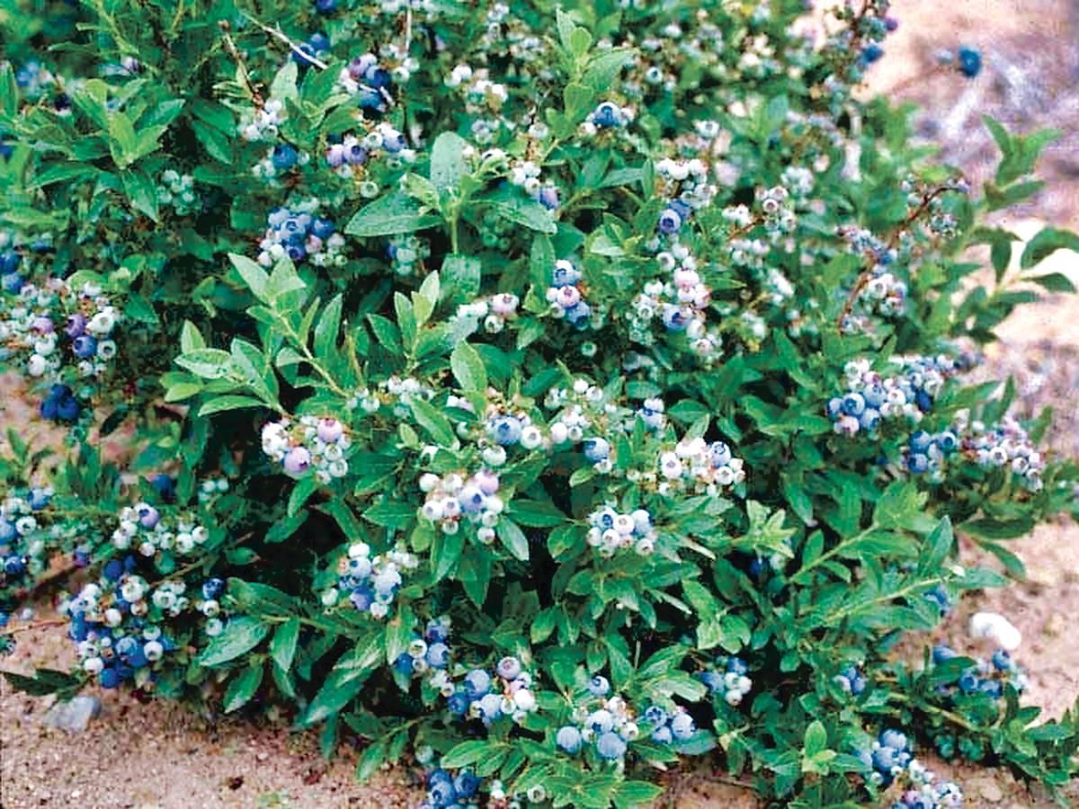 ■野生低丛蓝莓。网上图片