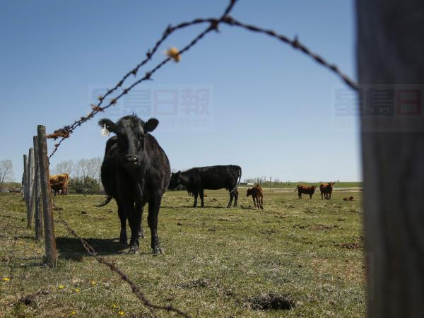 A cow peers out from a pasture on a ranch near Cremona, Alta., Tuesday, May 19, 2015. A report in a Quebec newspaper says China has suspended all Canadian meat exports in a dramatic escalation of its diplomatic dispute with Canada over the December arrest of Huawei executive Meng Wanzhou in Vancouver. THE CANADIAN PRESS/Jeff McIntosh